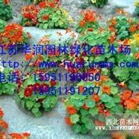 旱金莲种子
