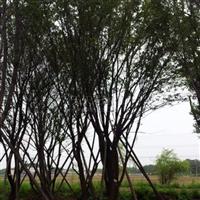 西安腾地出售大量精品茶条槭