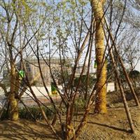 低分支丛生五角枫