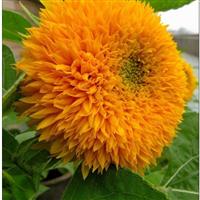 向日葵种子,向日葵种子价格,向日葵种子批发