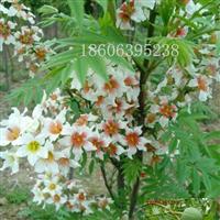 文冠果树苗,文冠果种子