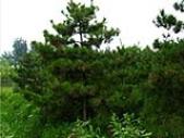 油松苗木出售 山西大同