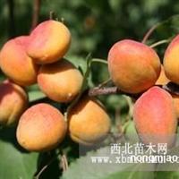 山西仁用杏苗木基地供应仁用杏苗木出售仁用杏