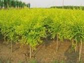 山西大同出售优质仁用杏苗木