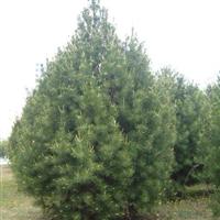 大量1-6米白皮松5-40流苏树30以上迎客松