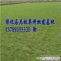 云南马尼拉草皮(云南马尼拉草坪)昆明马尼拉草,草皮价格