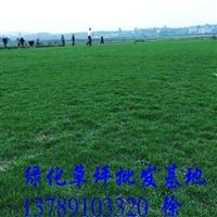 供应马尼拉草与台湾草的区别,大量批发马尼拉草皮,绿化草坪价格
