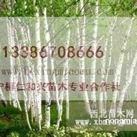 出售辽宁白桦树 吉林丛生白桦