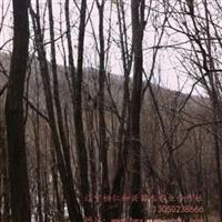 供应丛生五角枫、丛生蒙古栎(3-10条,每支5-20cm),