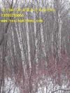 白桦、丛生白桦(4-10条,每分枝5-15公分)