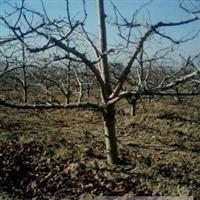 特供绿化 占地山楂树3-12公分