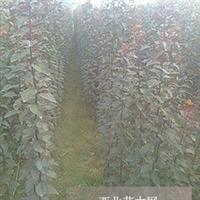红叶李2年苗6万株