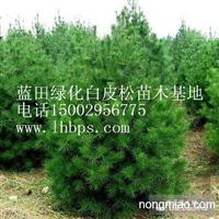 优质绿化白皮松苗木