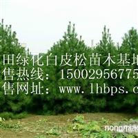蓝田优质绿化白皮松