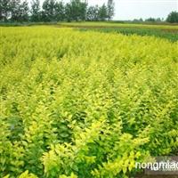 销售各种绿化苗木