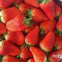 红颜草莓苗哪里有卖的 泰安脱毒草莓种苗