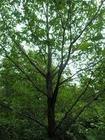 蒙古栎|辽宁蒙古栎|东北蒙古栎