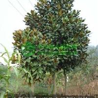 安徽肥西馆驿苗木场大量出售广玉兰小苗,2-15公分广玉兰