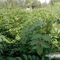 长期大量供应花椒苗