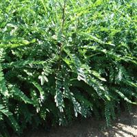 供应大皂角苗,皂角树