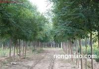 锦源苗圃供应各种苗木