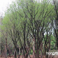 陕西茶条槭,五角枫等优质苗木