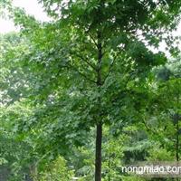 供应五角枫,佛甲草,垂盆草,油松塔桧,文冠果合欢小苗,千头椿