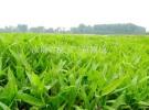 急售自家种植各种规格箬竹