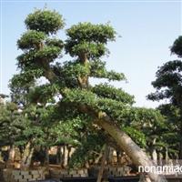 湖南绿化苗木花木榆树   造型榆树 金叶榆