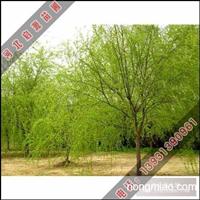 起源苗圃长期供应金丝柳