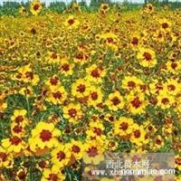 虞美人种子,羽扇豆种子,观赏向日葵种子,蛇目菊种子