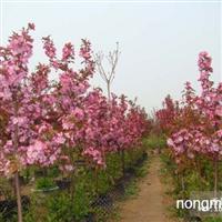 北美财运海棠海棠果海棠花
