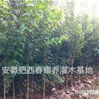 安徽肥西出售三角枫,2-15公分精品三角枫价格