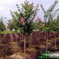 安徽肥西出售2-15公分全冠红花紫薇