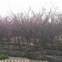 安徽肥西大量出售2-10公分红叶碧桃
