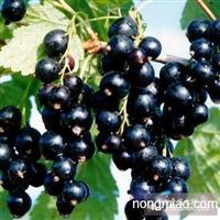 供应优质黑加仑苗