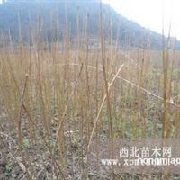 提供优质水杉苗