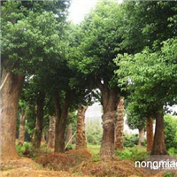 2013年香新园林大量供应:10-90公分野生香樟