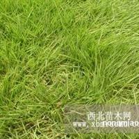 句容苗木基地低价销售台湾草