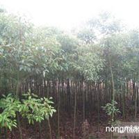 安徽三岗苗木基地直供 香樟