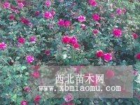 月季,丁香,卫矛,锦带木槿金叶榆沙地柏