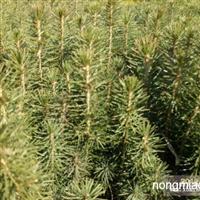 樟子松2--3年,云杉2--3年  樟子松营养钵苗。