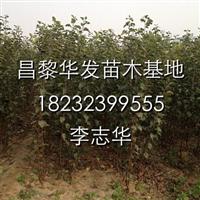 供应各种优质苹果苗