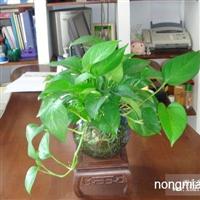 春节年桔年花出售广州室内盆栽出租维护服务