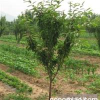 3-5公分苹果树3公分梨树樱桃树