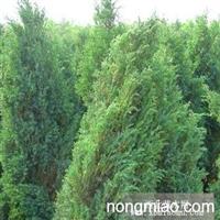 内蒙古绿化景观苗木