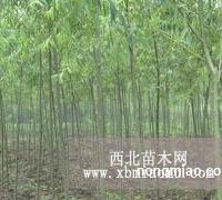 国槐、垂柳、金叶榆、新疆杨