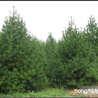 本地景观、绿化苗木
