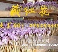 优质品质 藏红花种球价格