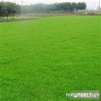 绿化草坪 台湾青草坪 批发直销